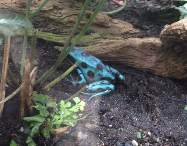Poisonous little blue frog at the butterfly conservatory in Niagara Falls – don't know why he was in with the butterflies albeit behind glass – probably best not to ask.