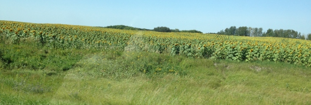 Sunflowers on the Prairies
