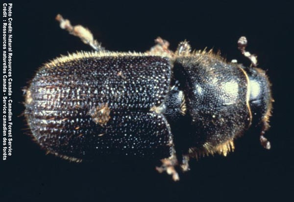 Dendroctonus Ponderosae. aka The Mountain Pine Beetle