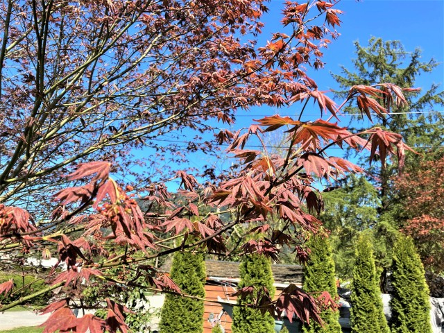 New leaves on the Winter Tree, and look at that glorious blue sky!